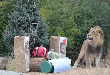 Christmas For Lion