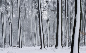Snow Striped Forest