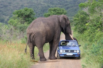 Aroused elephant likes this car