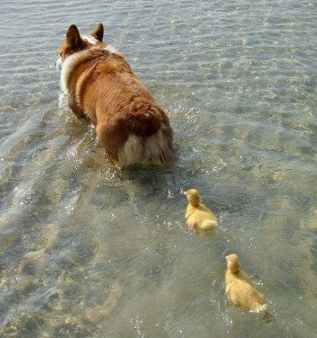 Corgi and her 2 Ducklings