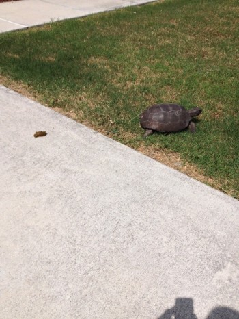 This turtle came by and took a dump in my driveway